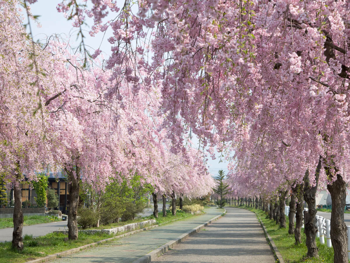 Weeping cherry trees along the ruins of the Nichu-sen railway tracks