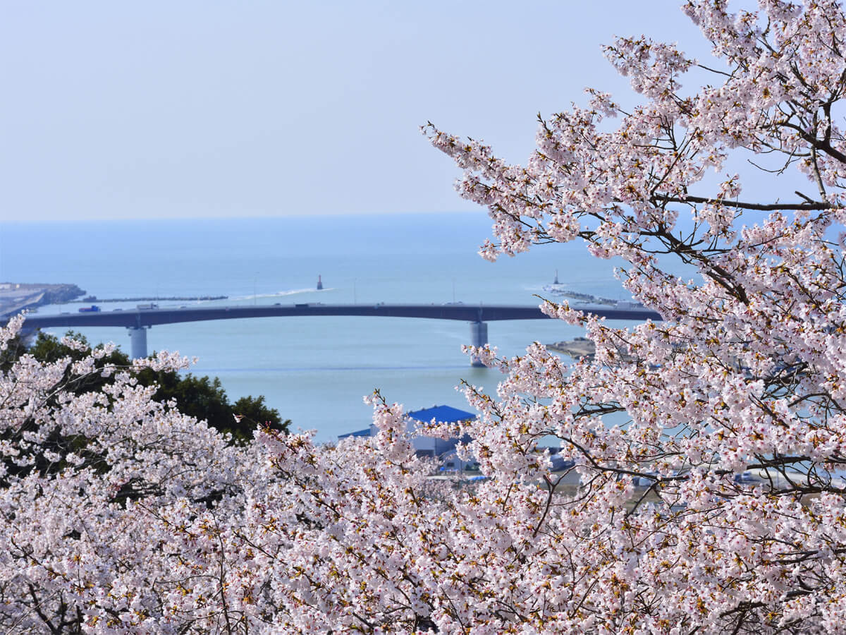Cherry Blossoms in Hiyoriyama Park_1