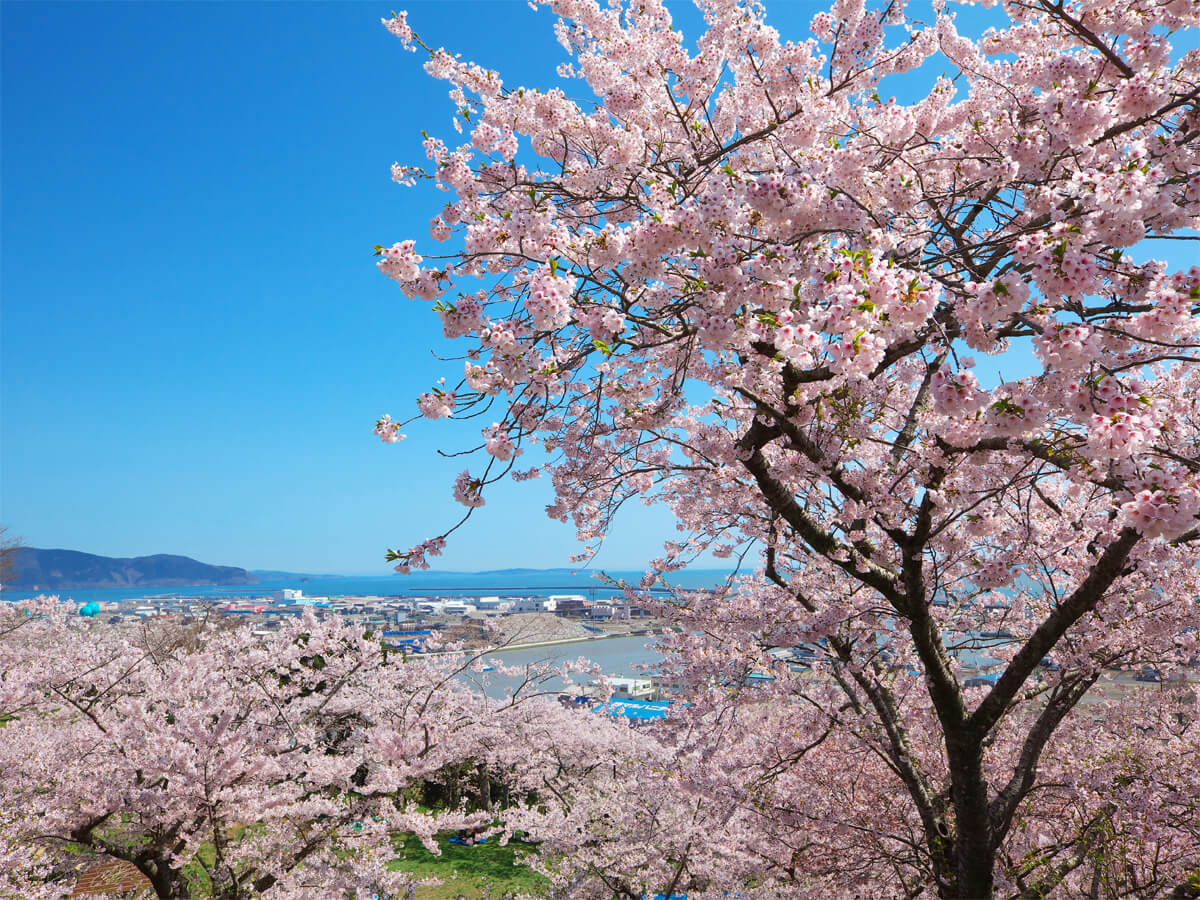 Cherry Blossoms in Hiyoriyama Park_2