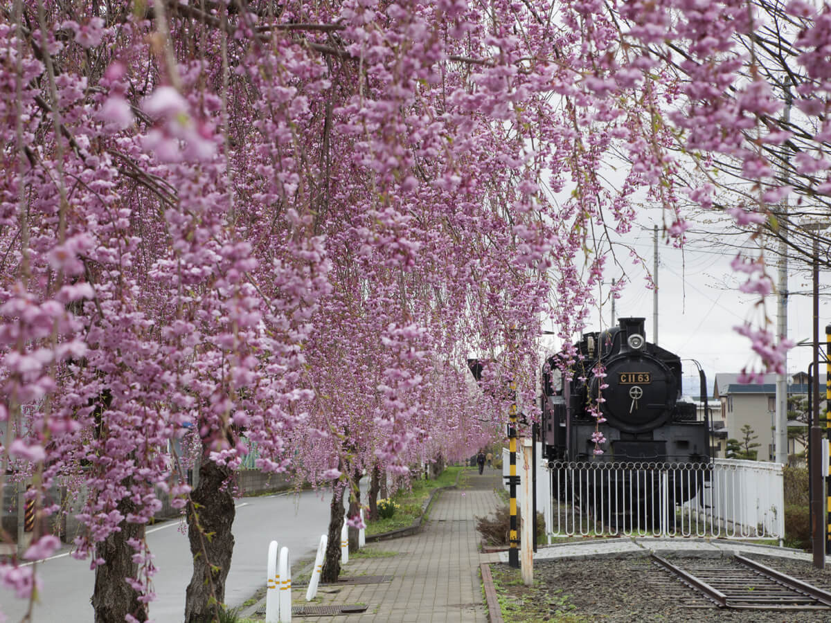 Weeping cherry trees along the ruins of the Nichu-sen railway tracks_1