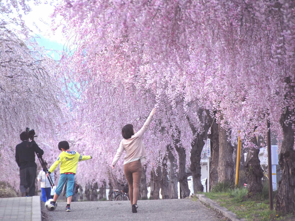 Weeping cherry trees along the ruins of the Nichu-sen railway tracks_4