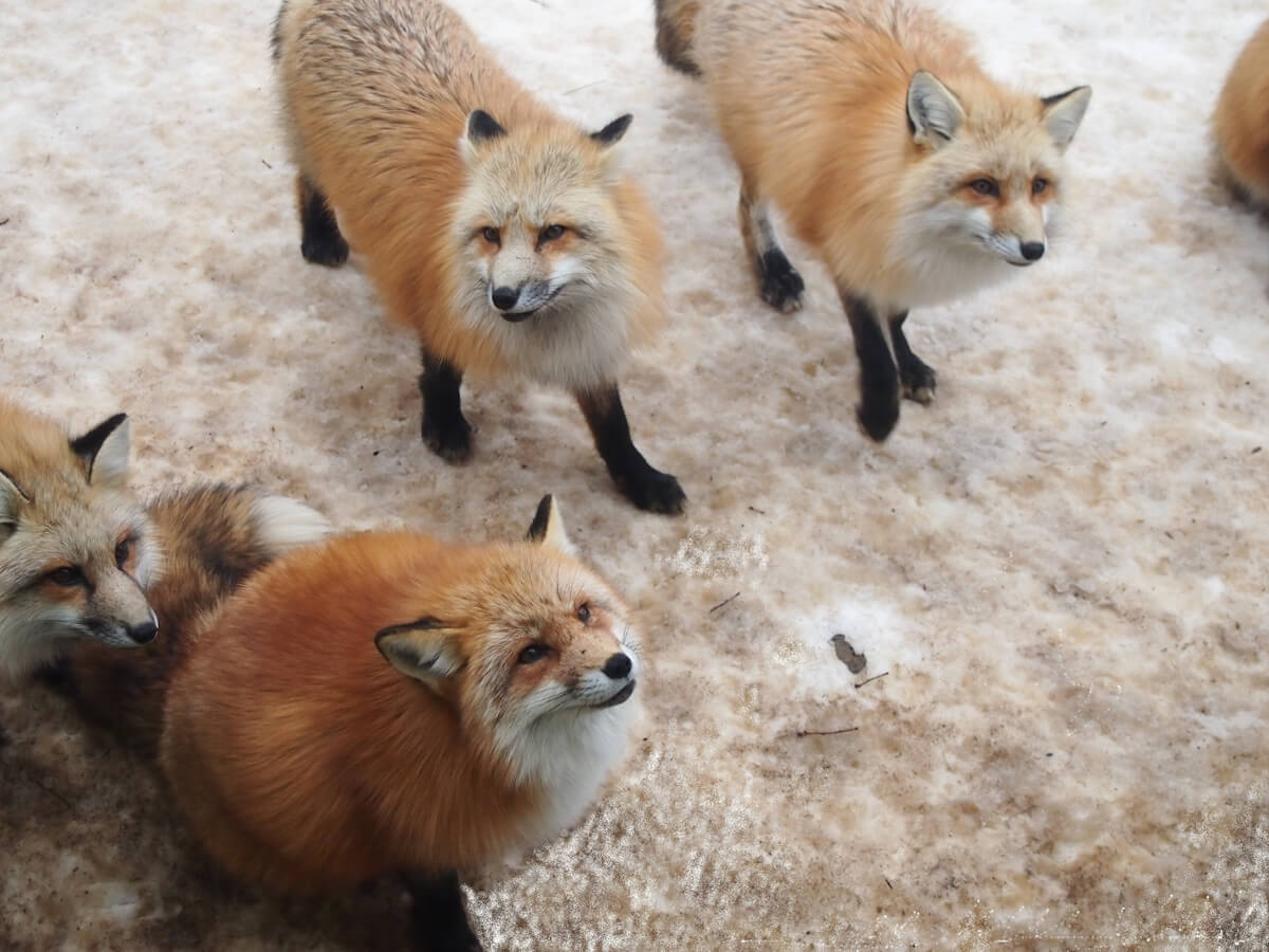 Zao Fox Village_2