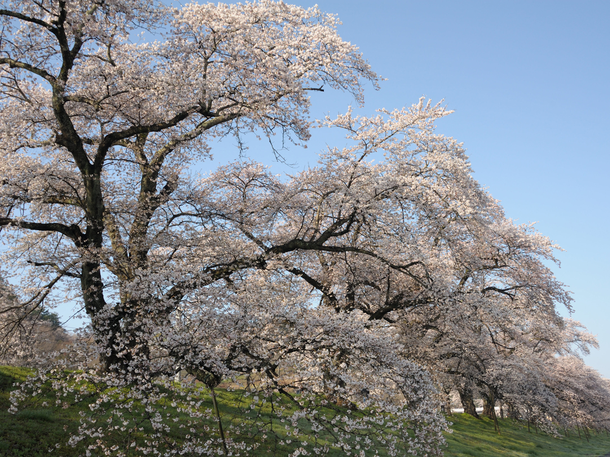 Hitome Senbonzakura (1,000 Sakura trees at a glance)_4
