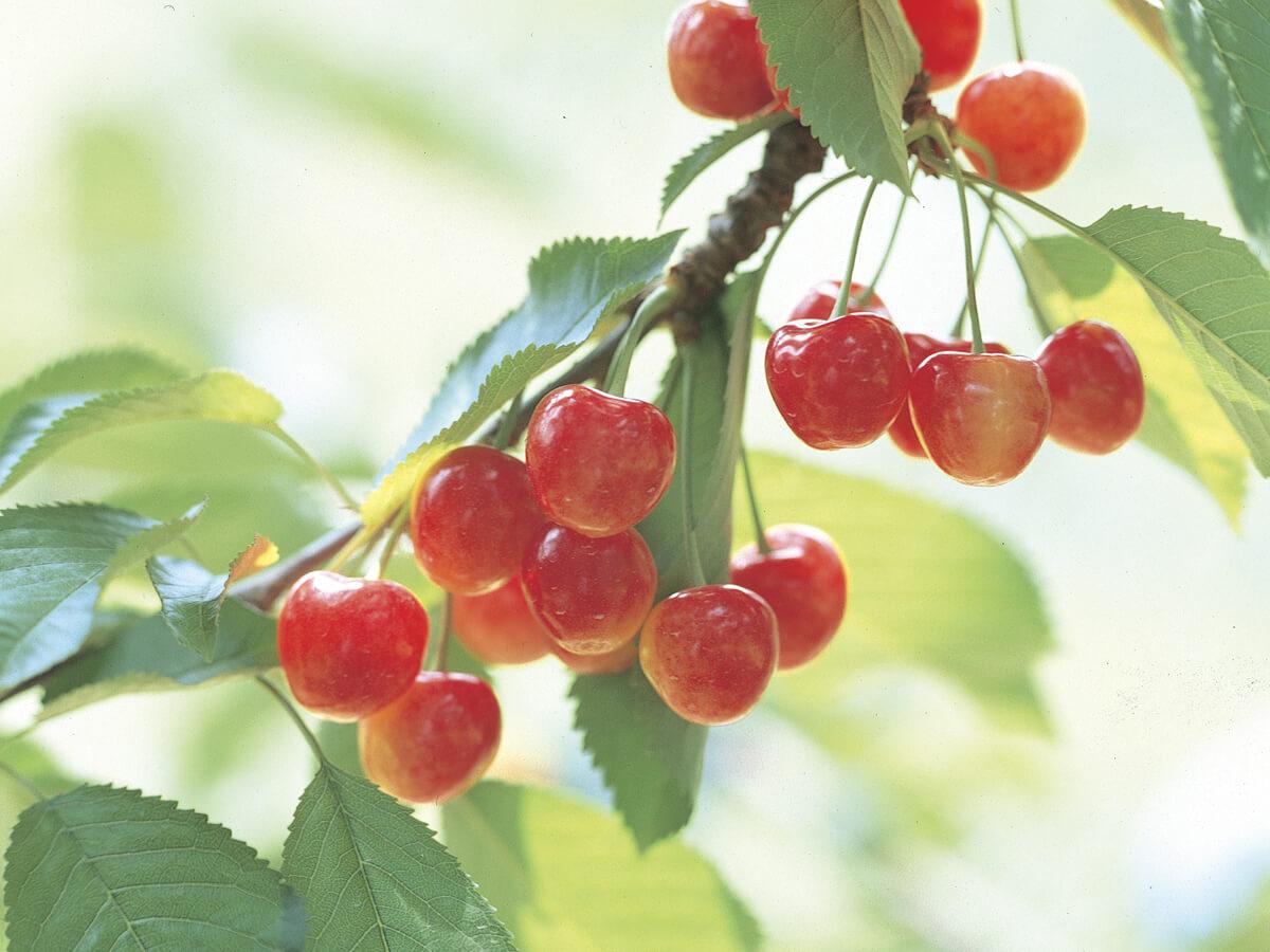 Frutteto panoramico di Kaminoyama_1