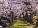 Cherry Blossoms in Tsuruoka Park_3