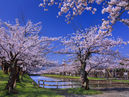 Cherry Blossoms in Tsuruoka Park_4