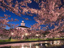 Cherry Blossoms in Tsuruoka Park_1