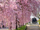 Weeping cherry trees along the ruins of the Nichu-sen railway tracks_3