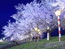 Hitome Senbonzakura (1,000 Sakura trees at a glance)_3